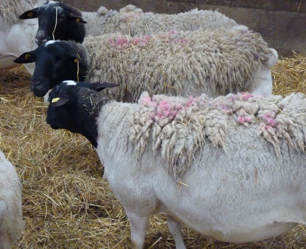 Mouton Dorper - Race d'Afrique du Sud