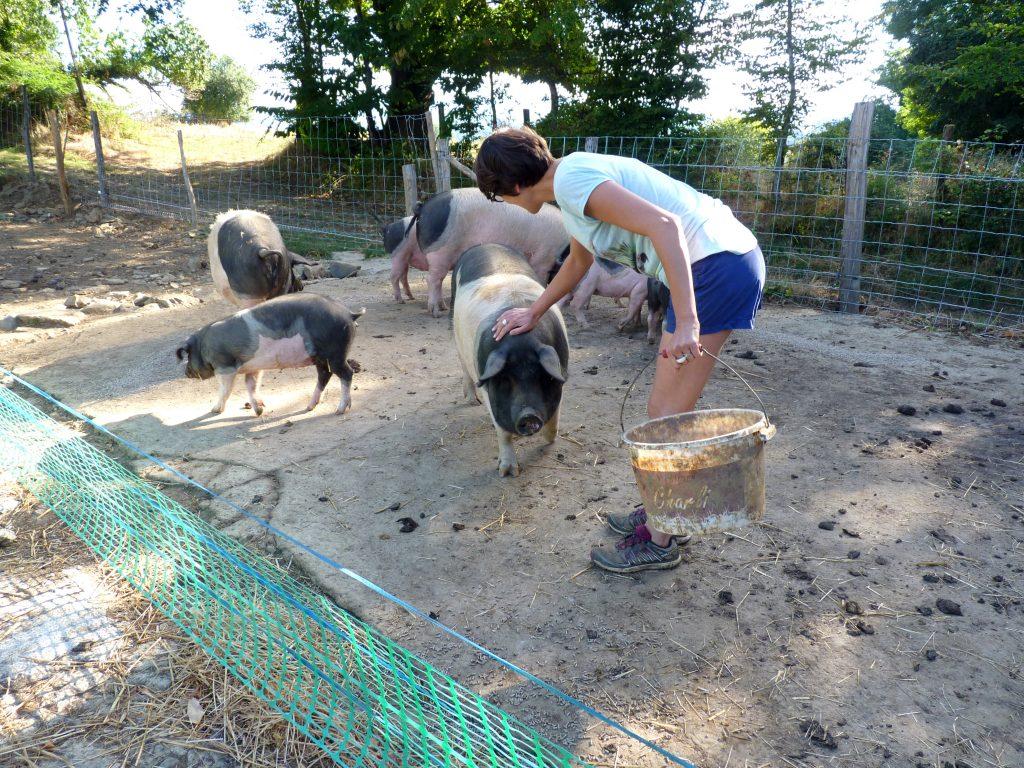 Cochons cul noir du Limousin
