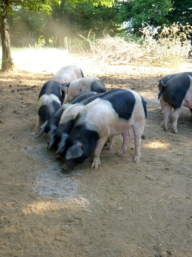 Cochon cul noir du Limousin