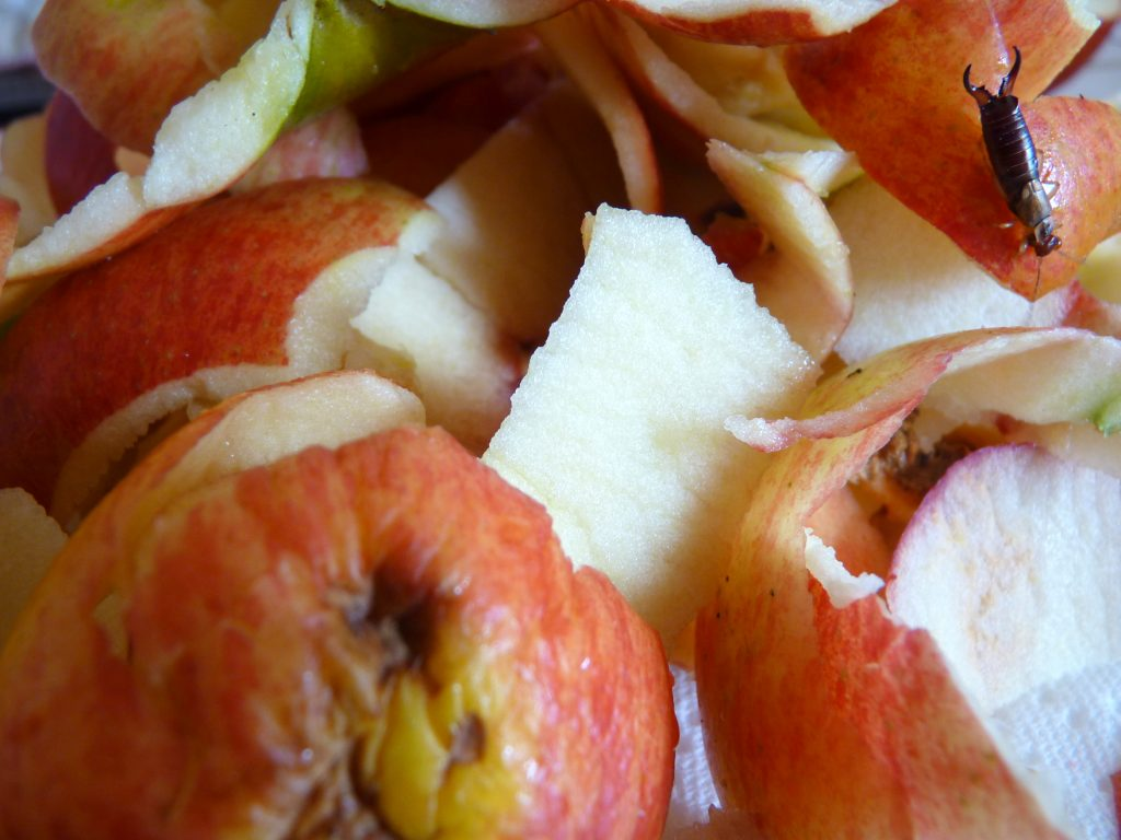 épluchures de pommes ver